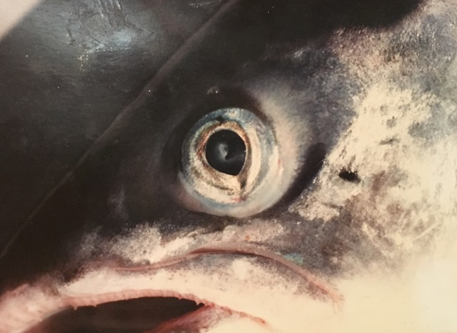 Look This Salmon In the Eye Then Ask Your MSP to Ask Questions During the Parliamentary Debate on Salmon Farming (6th Feb 2019)